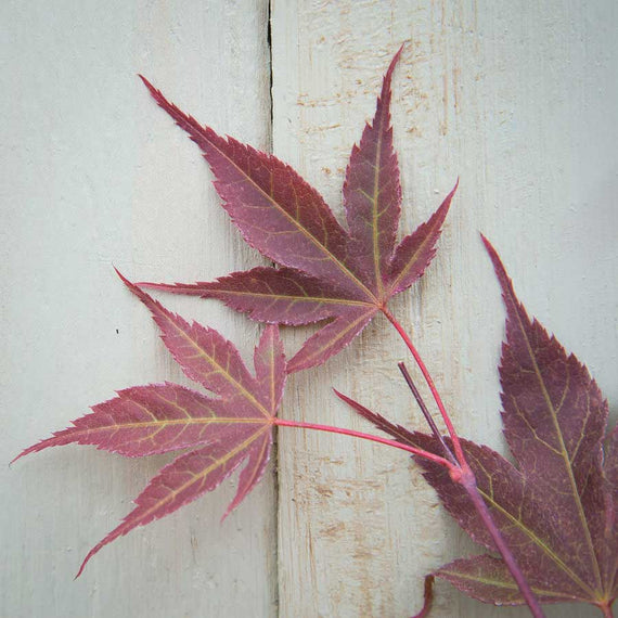 Deep Red leaves of the Going Red Japanese Maple Tree
