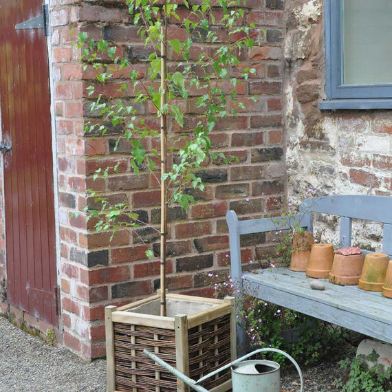 Medium sized silver birch tree next to watering can and bench