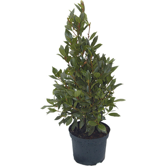 Bay Trees For Sale Send A Bay Laurel Tree Gift