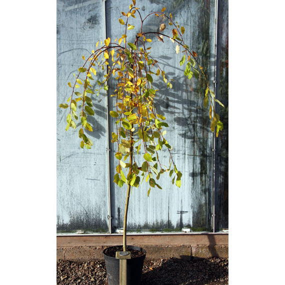 Kilmarnock Willow Trees for Sale