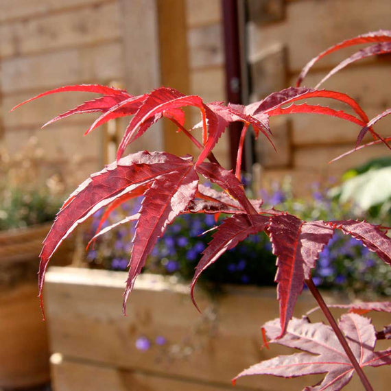 Red Leaves of The Enkan Japanese Maple