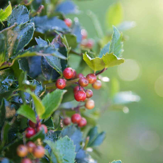 Red Berry Christmas Holly Ball