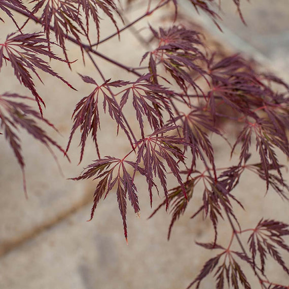 Crimson Queen Japanese Maple Tree Gift