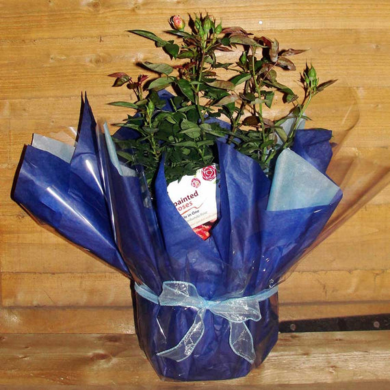 Gift Wrapped Rose Bush