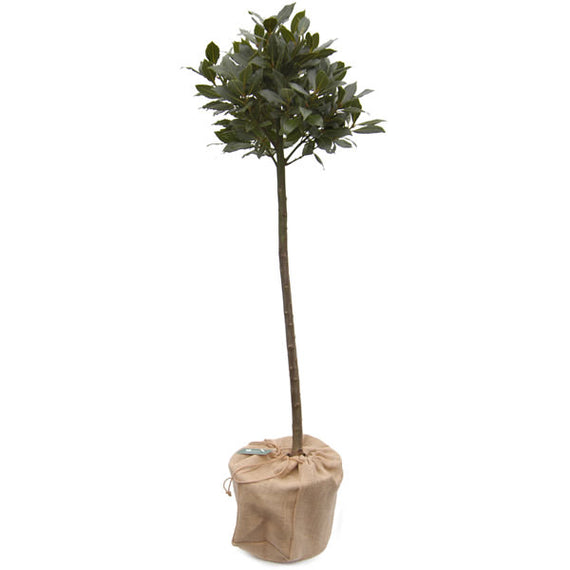 Order a Large Bay Tree