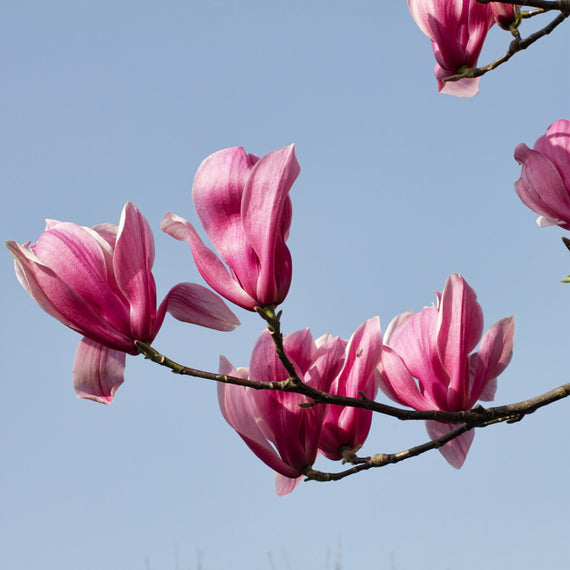Lily Magnolia tree gift