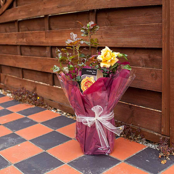 Simply The Best Rose Bush Gift Wrapped