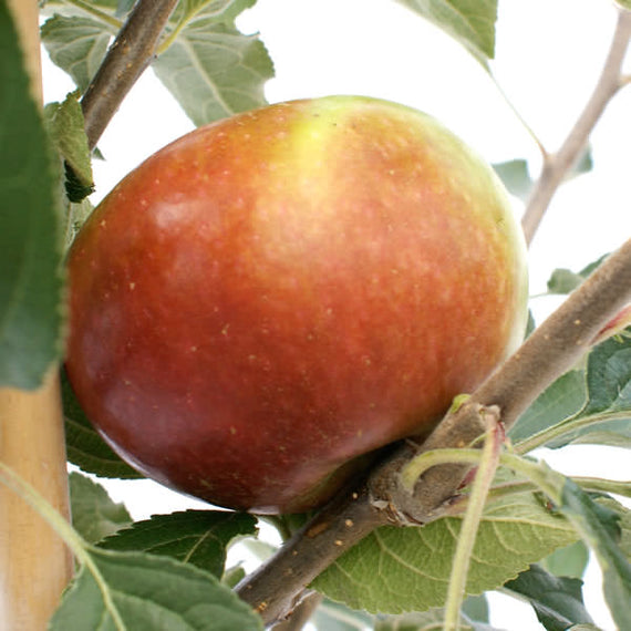 Buy a Queen Cox Apple Tree