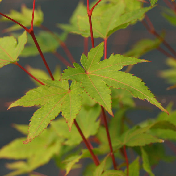 Sunshine Japanese Maple Trees
