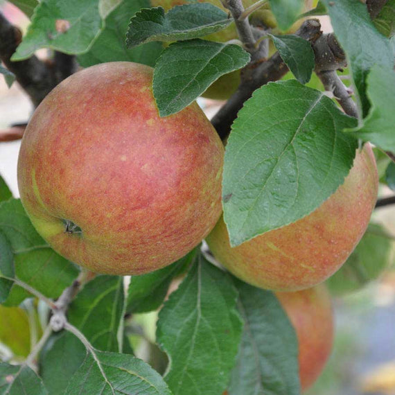 Queen Cox Apple Tree