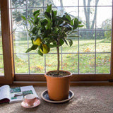 Send an Orange Tree as a Gift