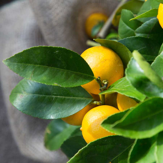 Lemon Tree Gift