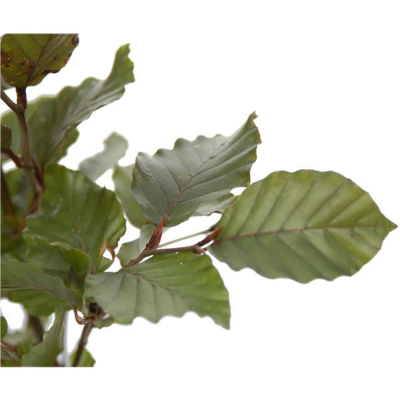 Fagus sylvatica purpurea Leaves