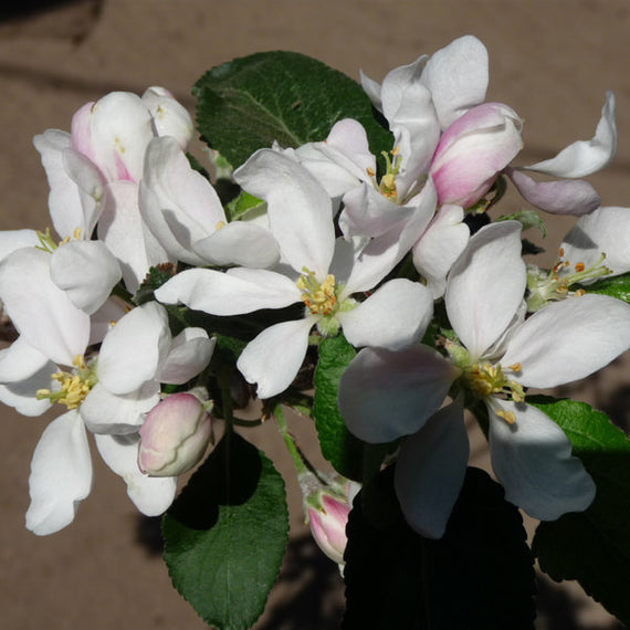 Katy Apple Tree Blossom