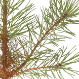 Buy a Scots Pine Tree Online