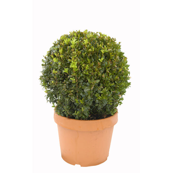 Box Topiary for Sale