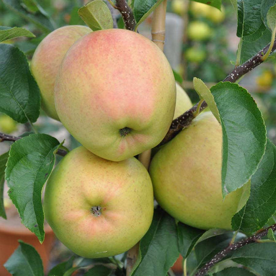 Golden Delicious Apple Trees for Sale