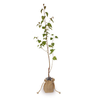 Buy a Silver Birch Tree Online