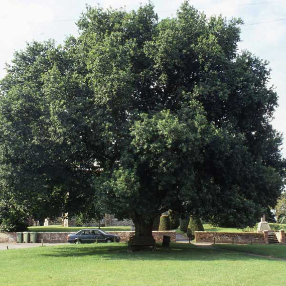 Large English Oak Tree
