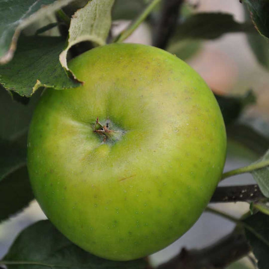 Bramley Apple Tree Gift
