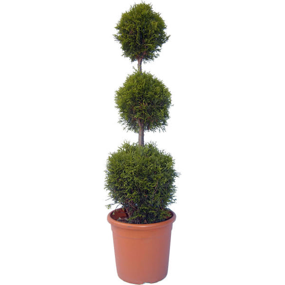 Buy a 3 Ball Topiary Tree