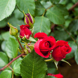 Blooming Marvellous Climbing Rose