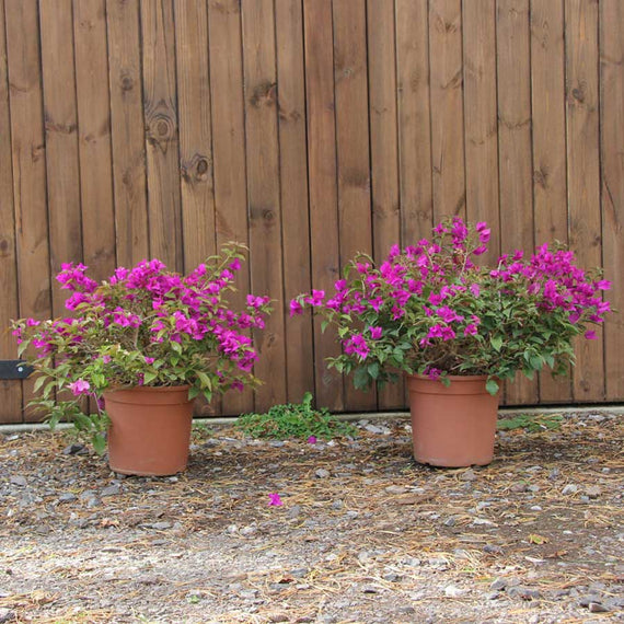 Bougainvillea for Sale