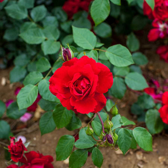 Blooming Marvellous Red Rose