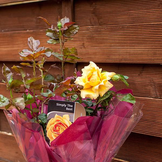 Send a Simply The Best Rose Bush