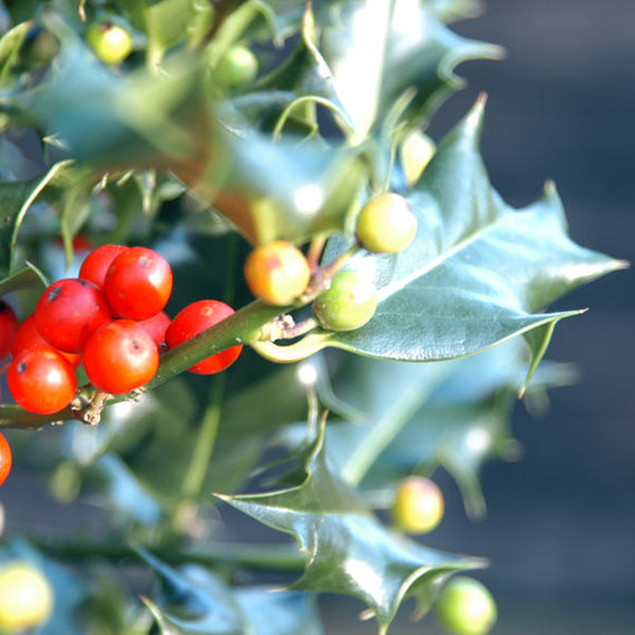 Buy a Holly Tree Gift