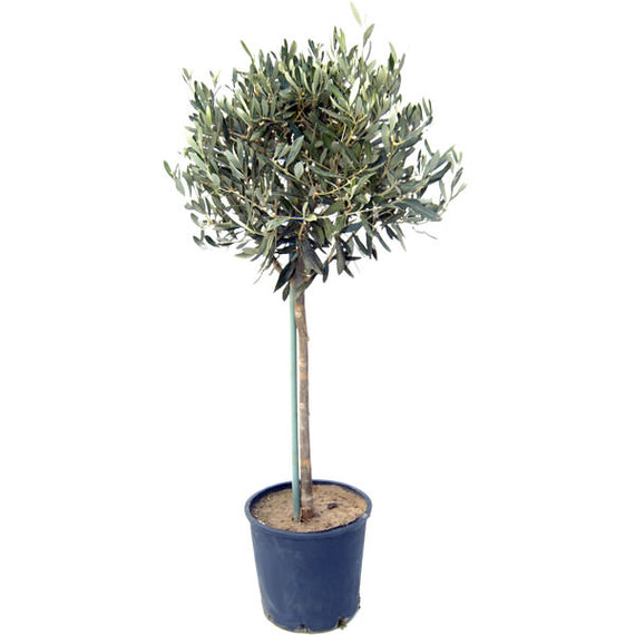Buy an Olive Tree Online