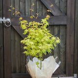 Summer Gold Japanese Maple Tree Gift