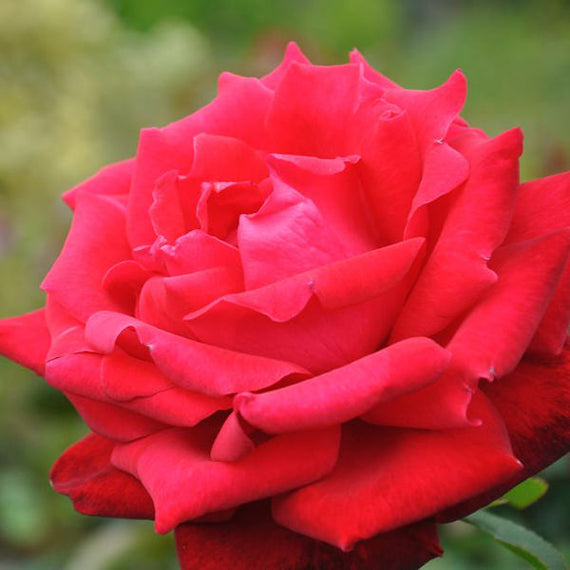 Ruby Anniversary Rose Bush Gift