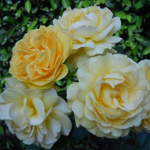 Buy an Absolutely Fabulous Rose Bush