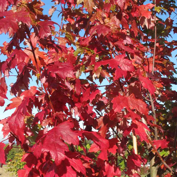 Acer x freemanii Autumn Blaze Tree for Sale