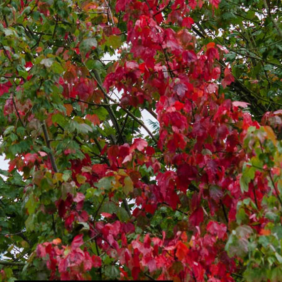Buy a Acer rubrum October Glory ®