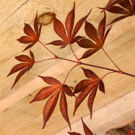 Fireglow Japanese Maple Tree Gift
