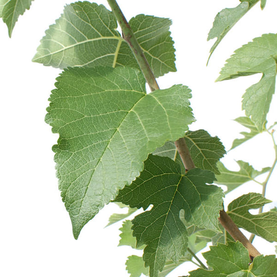 Buy a Mulberry Bush Online