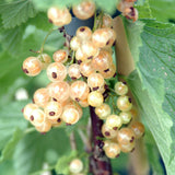 Buy White Currant Plants