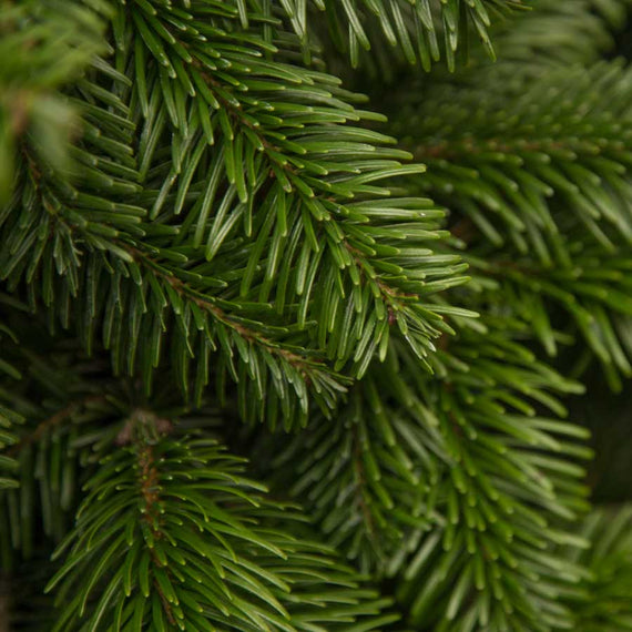Potted Christmas Trees Delivered UK