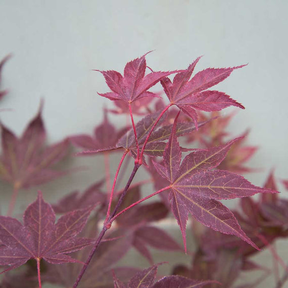 Going Red Japanese Maple Tree Leaves