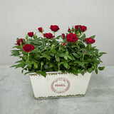 Red Christmas Indoor Rose Planter