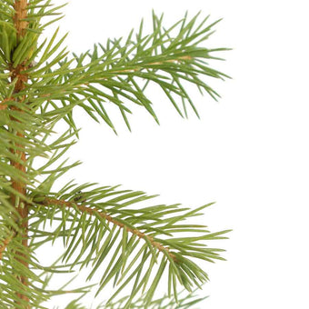 Norway Spruce Christmas Sapling