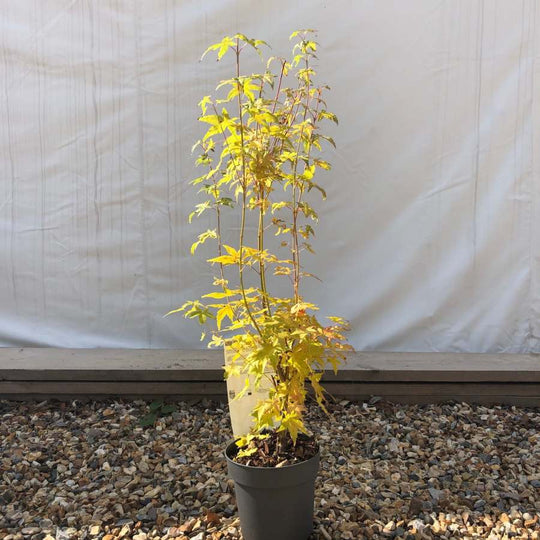Bi Hoo Japanese Maple Tree Gift