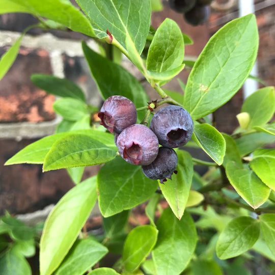 Buy a Blueberry Plant Gift