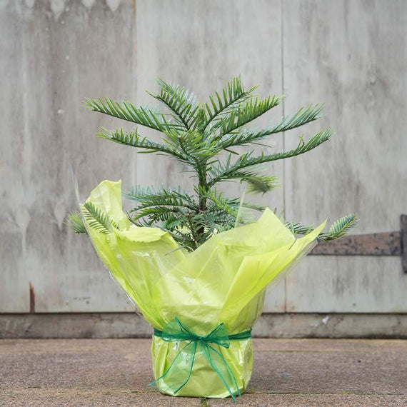 Buy a Wollemi Pine Tree