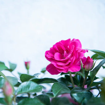Pink Perfect Match Rose Bloom