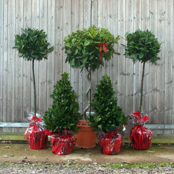 The Stately Home Bay Tree Collection