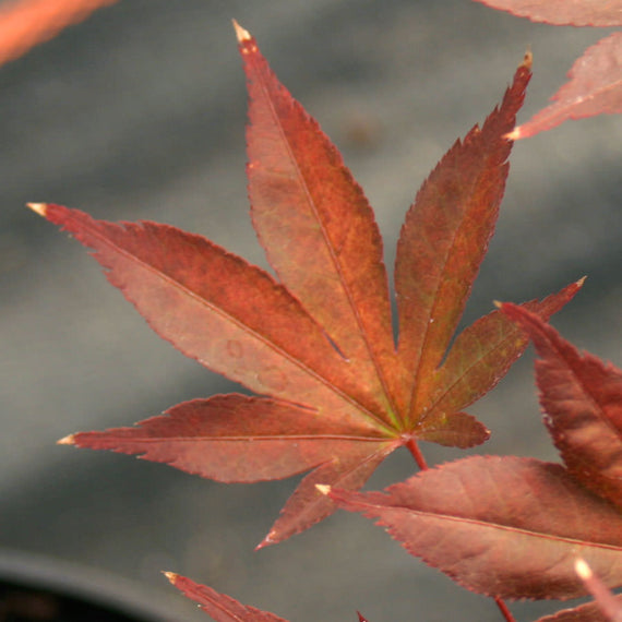 Order a Fireglow Japanese Maple Tree