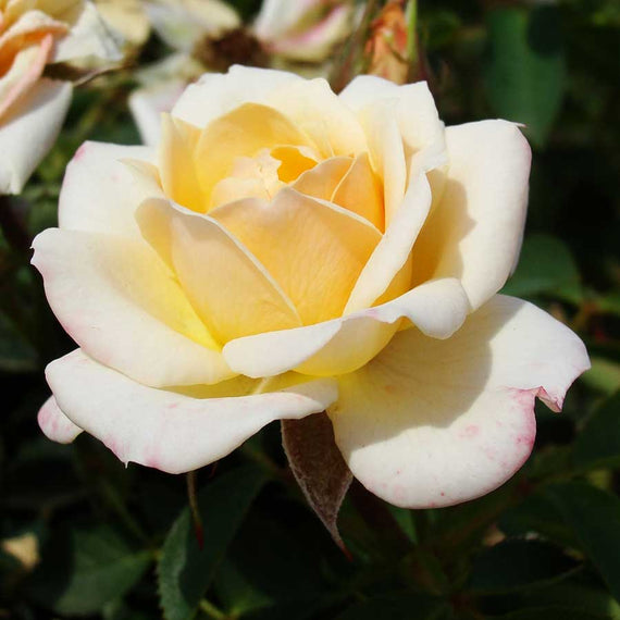 Belle of The Ball Rose Bush Gift